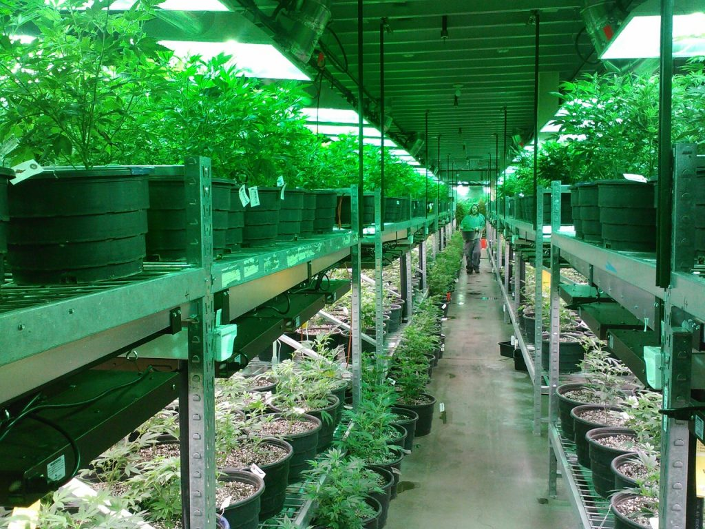 Legalized Marijuana Grower