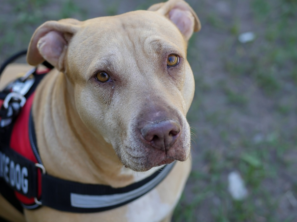Service Dog Rental Laws allow this Gentle Pit Bull