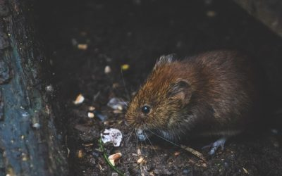 Rodents Pose a Danger to Tenants in Denver – Avoid These Serious Consequences by Hiring a Property Manager to Ensure Your Rentals Are Safe