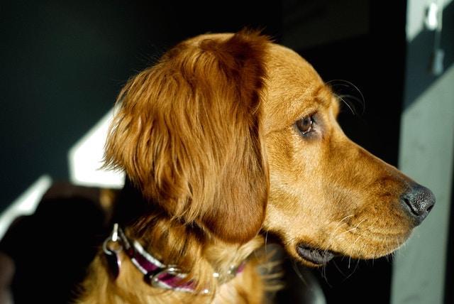 dog-pet-golden-retriever-friend-animal